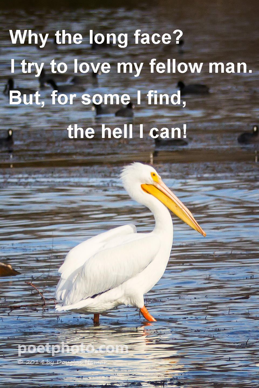 Pelican Helican web