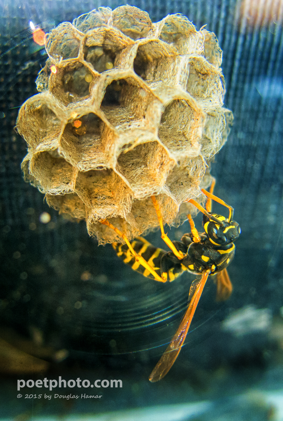 Paper Wasp-