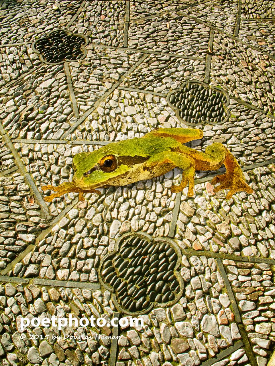 Tree frog --2