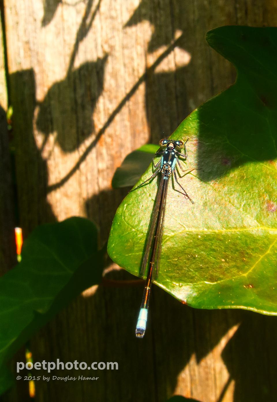 Damsel fly-