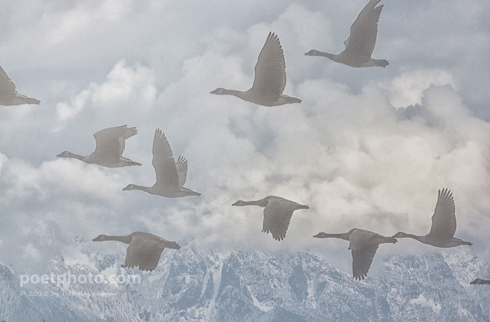 Geese clouds 0037-2