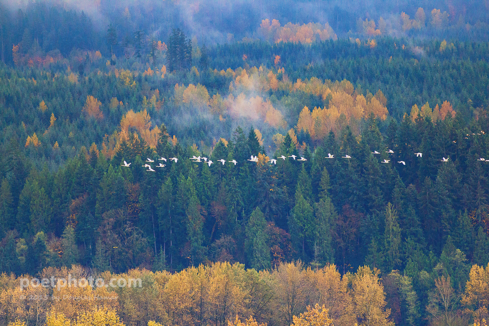 Swans in Skykomish Valley