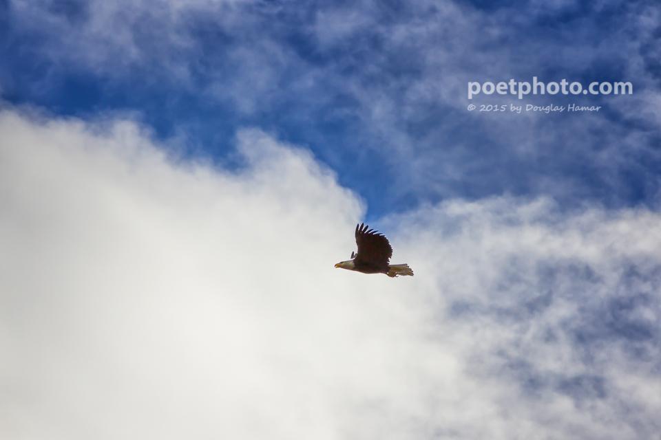 Eagle in flight (1 of 2)