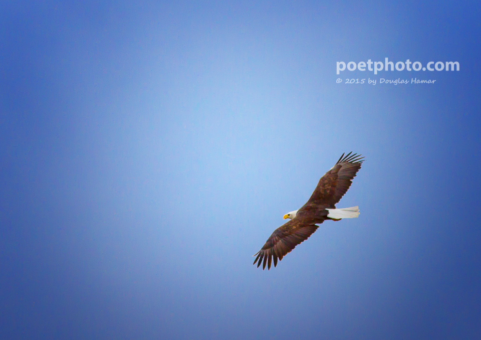 Eagle in flight (2 of 2)
