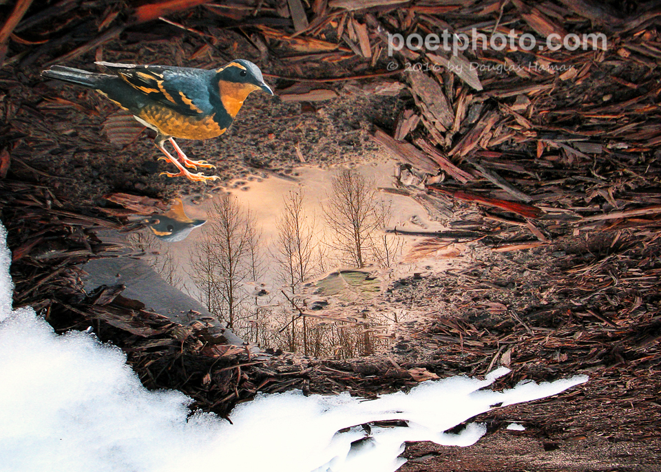 Varied Thrush puddle-