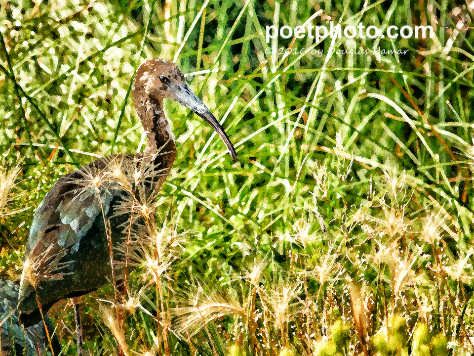 White faced Ibis-2